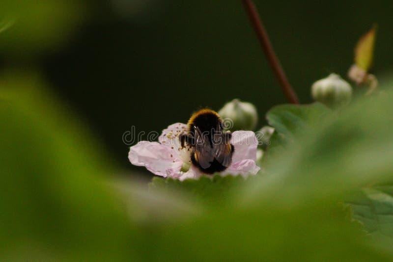 Μέλισσα που κάνει τη σκληρή δουλειά την άνοιξη στοκ φωτογραφία με δικαίωμα ελεύθερης χρήσης