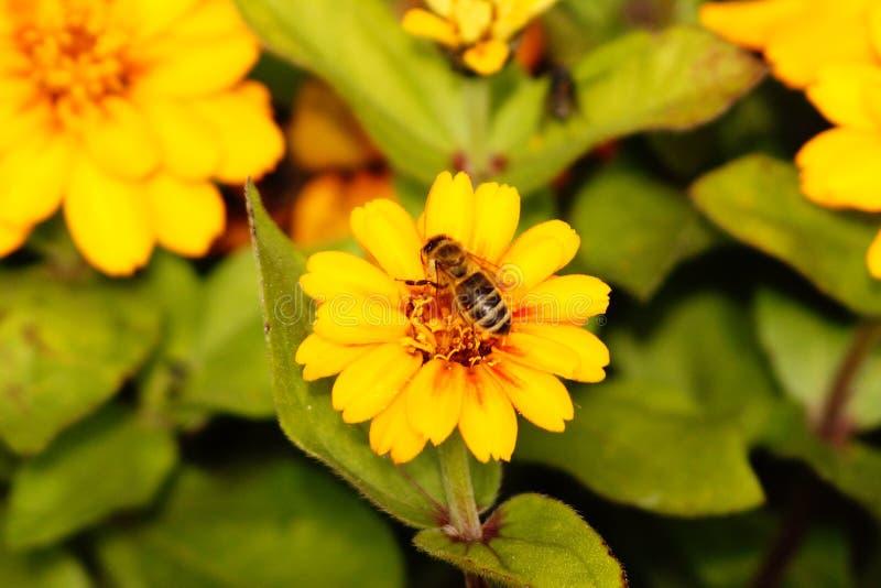 Μέλισσα που κάνει τη σκληρή δουλειά την άνοιξη στοκ φωτογραφία