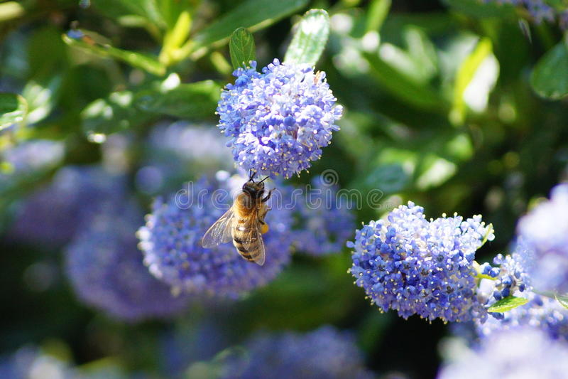Μέλισσα που κάνει τη σκληρή δουλειά την άνοιξη στοκ εικόνα