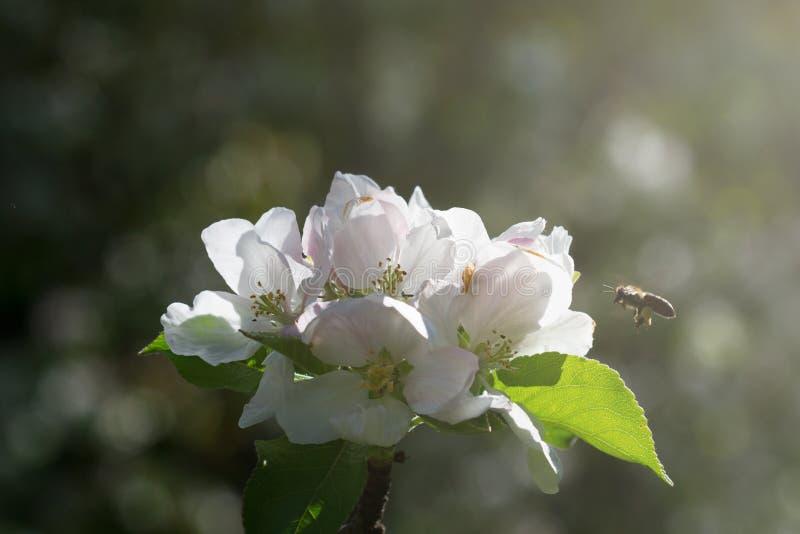 Μέλισσα που πλησιάζει ένα άσπρο λουλούδι στοκ φωτογραφία με δικαίωμα ελεύθερης χρήσης