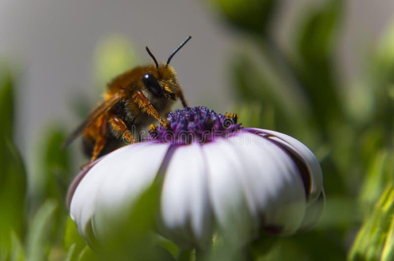 Μέλισσα σε ένα άσπρο λουλούδι στοκ εικόνες