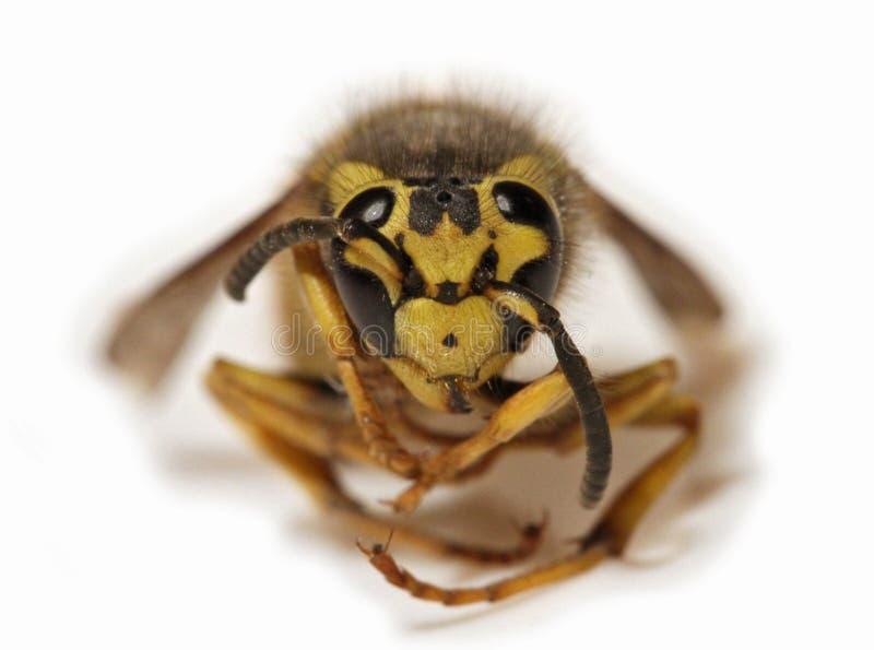 Μέλισσα σε ένα άσπρο υπόβαθρο - ακραία κινηματογράφηση σε πρώτο πλάνο στοκ φωτογραφία
