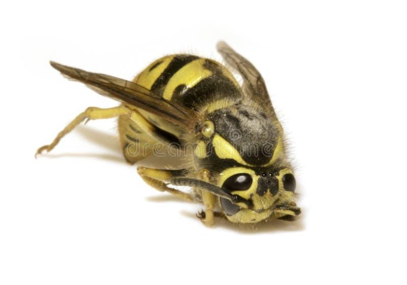 Μέλισσα σε ένα άσπρο υπόβαθρο - ακραία κινηματογράφηση σε πρώτο πλάνο στοκ εικόνες