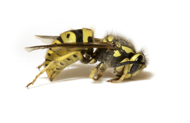 Μέλισσα σε ένα άσπρο υπόβαθρο - ακραία κινηματογράφηση σε πρώτο πλάνο στοκ εικόνα