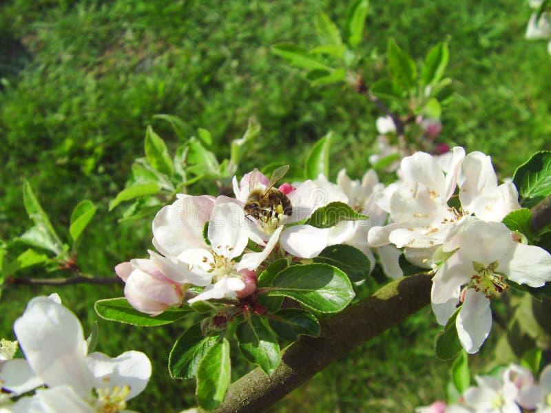 Μέλισσα σε ένα μήλο λουλουδιών στοκ φωτογραφία με δικαίωμα ελεύθερης χρήσης