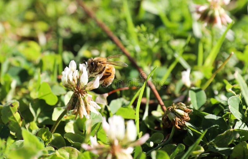 Μέλισσα σε ένα λουλούδι στοκ φωτογραφία