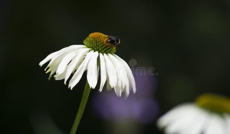 Μέλισσα σε μια μαργαρίτα στοκ εικόνες