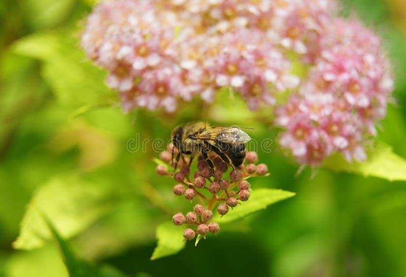 Μέλισσα σε Spiraea στοκ εικόνα με δικαίωμα ελεύθερης χρήσης