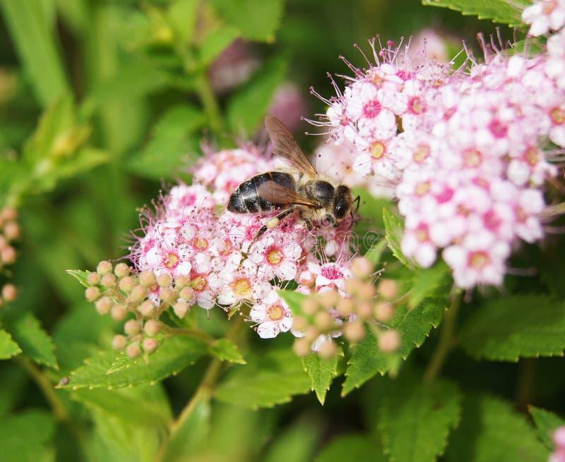 Μέλισσα σε Spiraea στοκ εικόνες