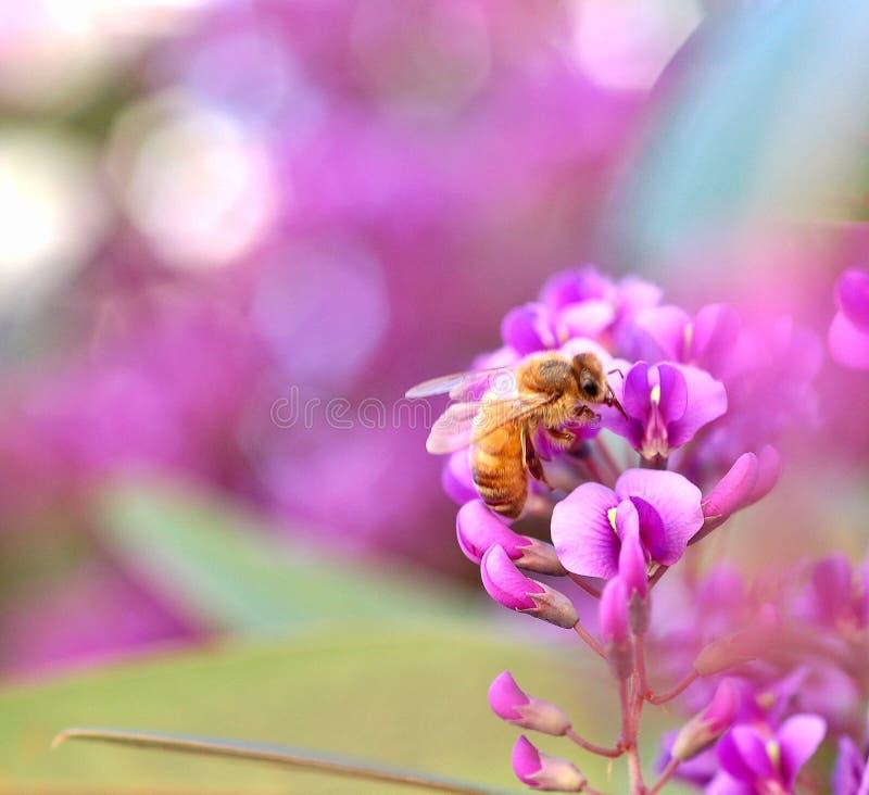 Μέλισσα σε Wisteria στοκ φωτογραφία