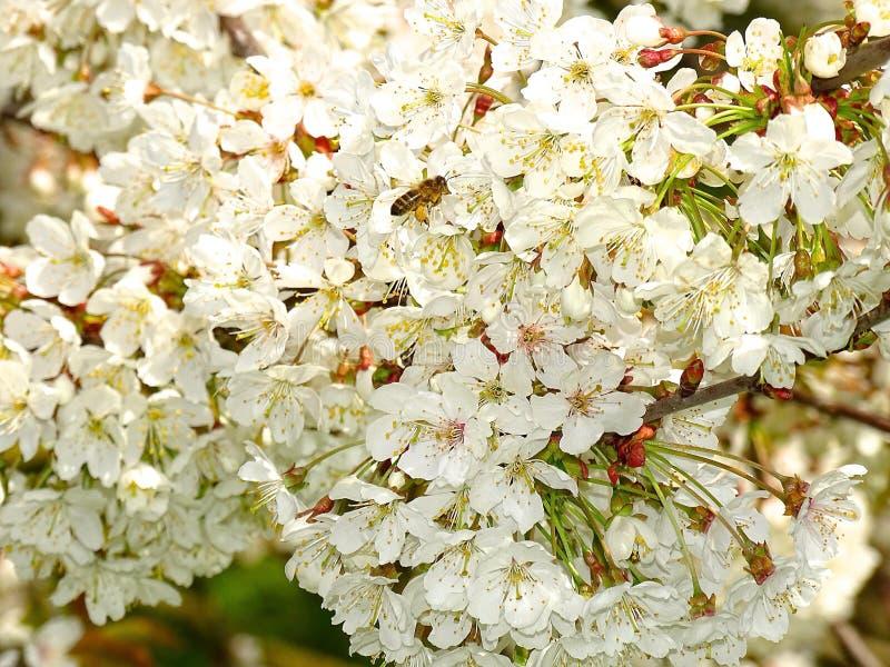 Μέλισσα στα λουλούδια που απολαμβάνουν την ελαφριά μυρωδιά στοκ εικόνες με δικαίωμα ελεύθερης χρήσης