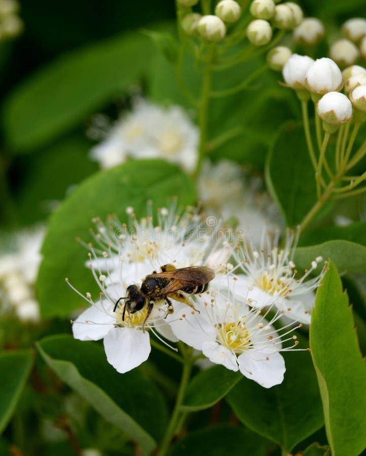 Μέλισσα στα λουλούδια spirea στοκ φωτογραφία με δικαίωμα ελεύθερης χρήσης