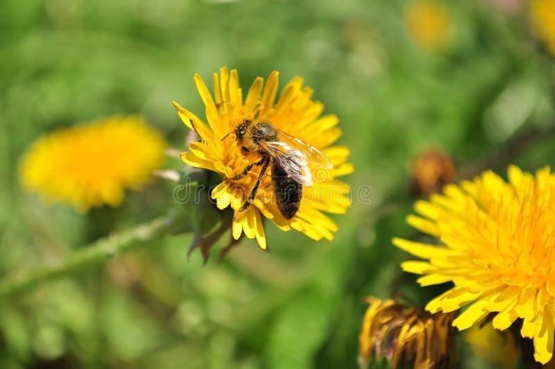 Μέλισσα στην πικραλίδα στοκ φωτογραφία