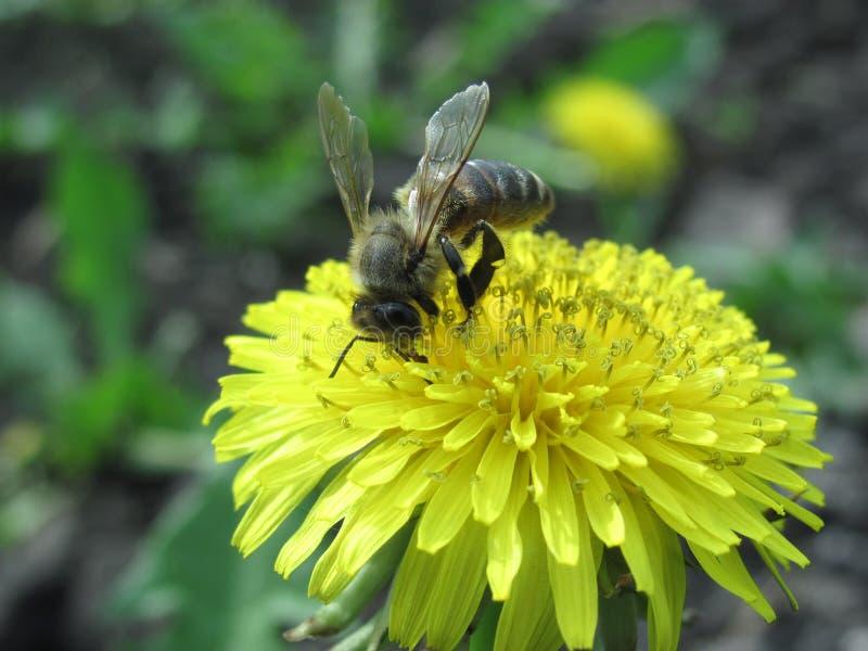 Μέλισσα στην πικραλίδα στοκ εικόνα