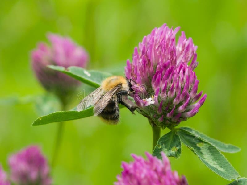 Μέλισσα στη μακροεντολή λουλουδιών κόκκινου τριφυλλιού στοκ εικόνα