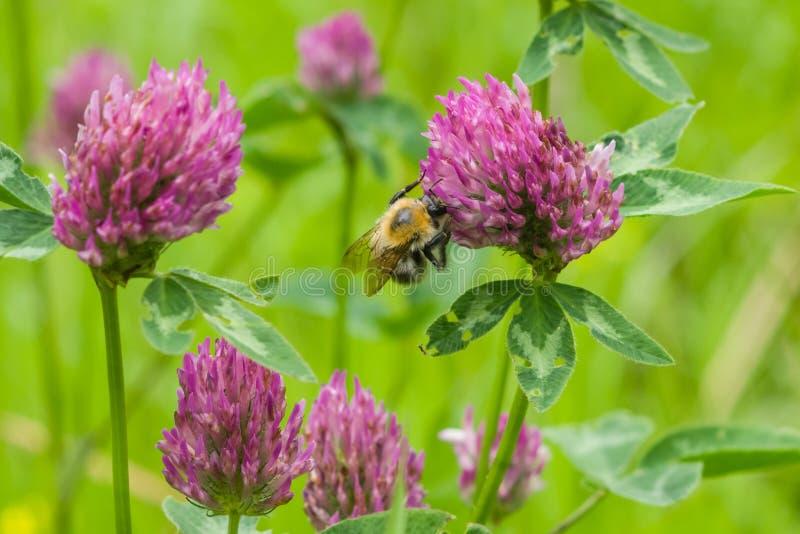 Μέλισσα στη μακροεντολή λουλουδιών κόκκινου τριφυλλιού στοκ εικόνες με δικαίωμα ελεύθερης χρήσης