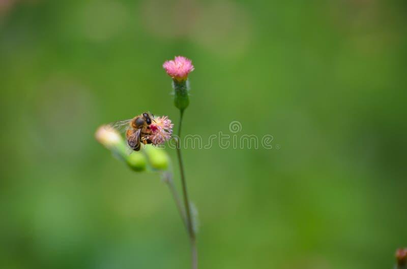 Μέλισσα στη ρόδινη κινηματογράφηση σε πρώτο πλάνο πικραλίδων στοκ φωτογραφία με δικαίωμα ελεύθερης χρήσης