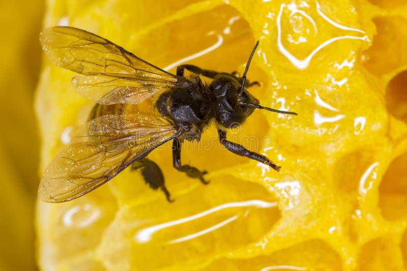Μέλισσα στη φωλιά στοκ φωτογραφία