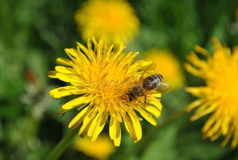 Μέλισσα στο κίτρινο λουλούδι στοκ εικόνες με δικαίωμα ελεύθερης χρήσης