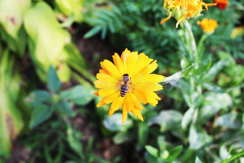 Μέλισσα στο κίτρινο λουλούδι στοκ φωτογραφίες με δικαίωμα ελεύθερης χρήσης