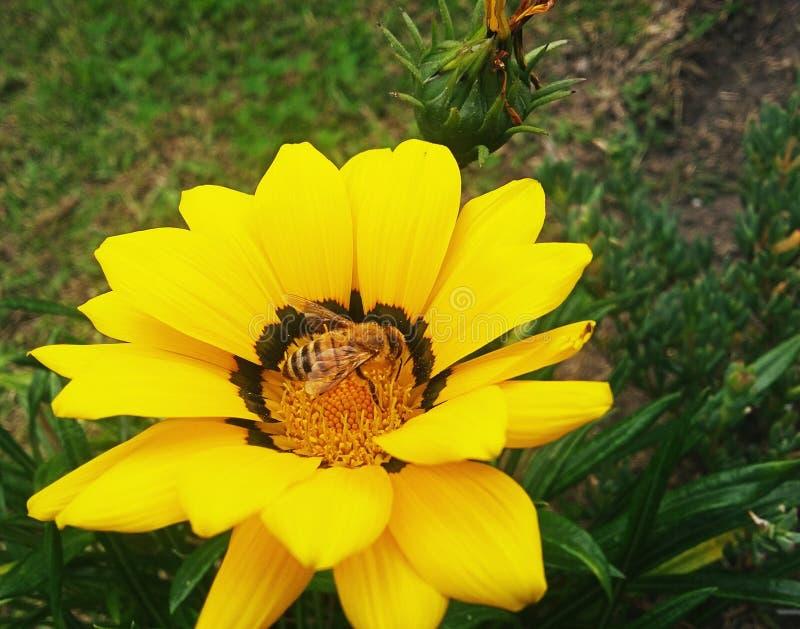 Μέλισσα στο κίτρινο λουλούδι στοκ εικόνες