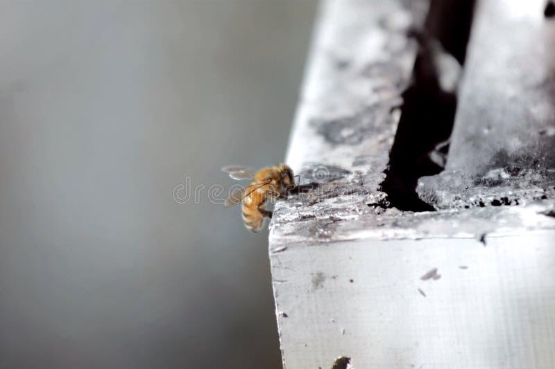 Μέλισσα στο κιβώτιο στοκ φωτογραφίες με δικαίωμα ελεύθερης χρήσης