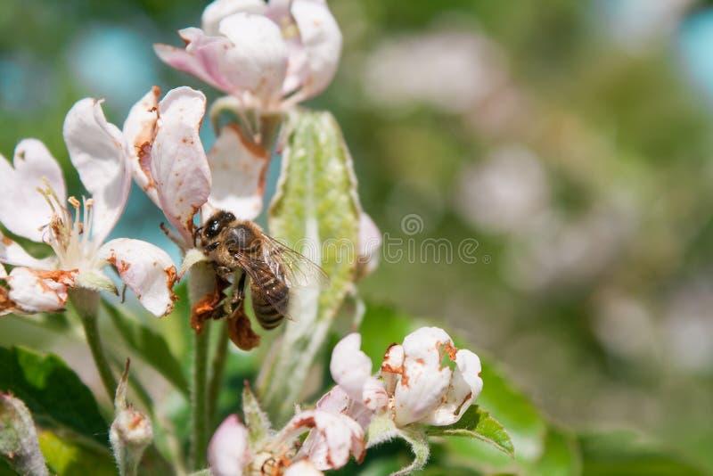 Μέλισσα στο λουλούδι δέντρων μηλιάς στοκ φωτογραφίες