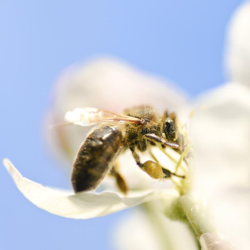 Μέλισσα στο λουλούδι μήλων στοκ φωτογραφίες με δικαίωμα ελεύθερης χρήσης