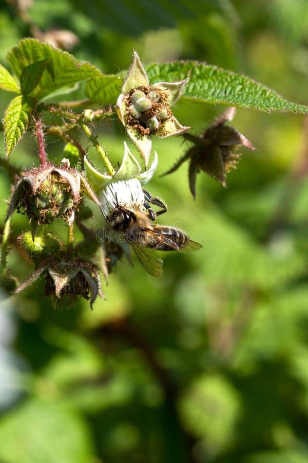 Μέλισσα στο λουλούδι που συλλέγει το σμέουρο γύρης στοκ φωτογραφία
