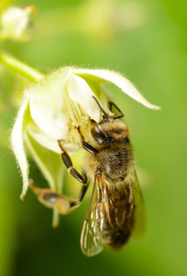 Μέλισσα στο λουλούδι του σμέουρου στοκ εικόνες