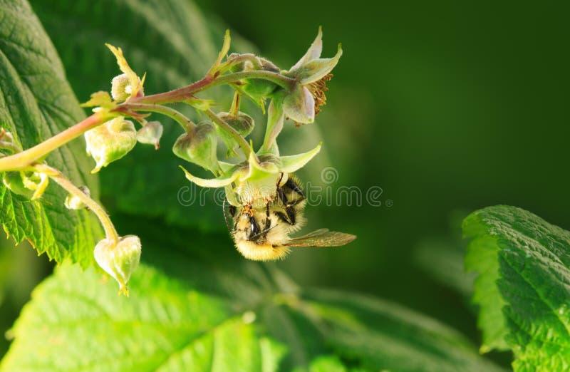 Μέλισσα στο λουλούδι του σμέουρου στοκ φωτογραφίες με δικαίωμα ελεύθερης χρήσης