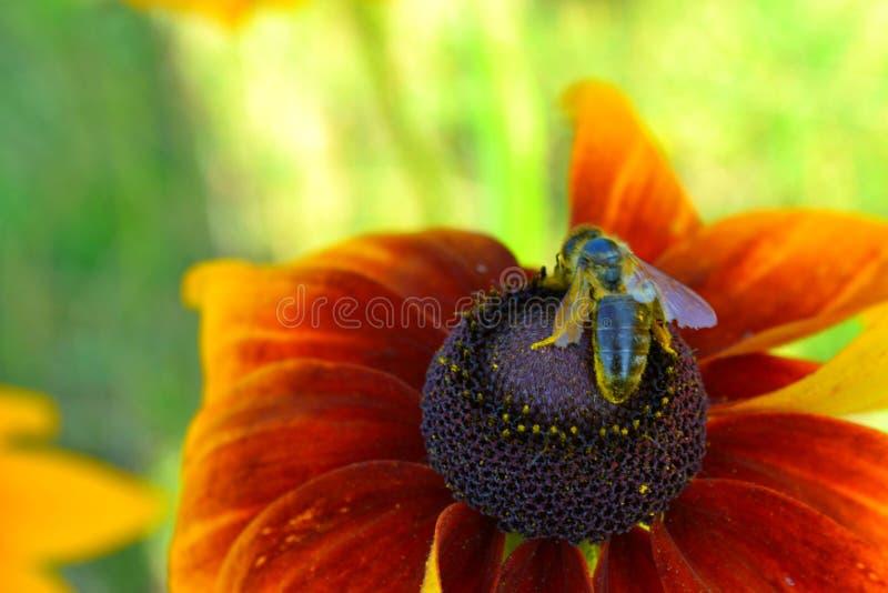 Μέλισσα στοκ εικόνες