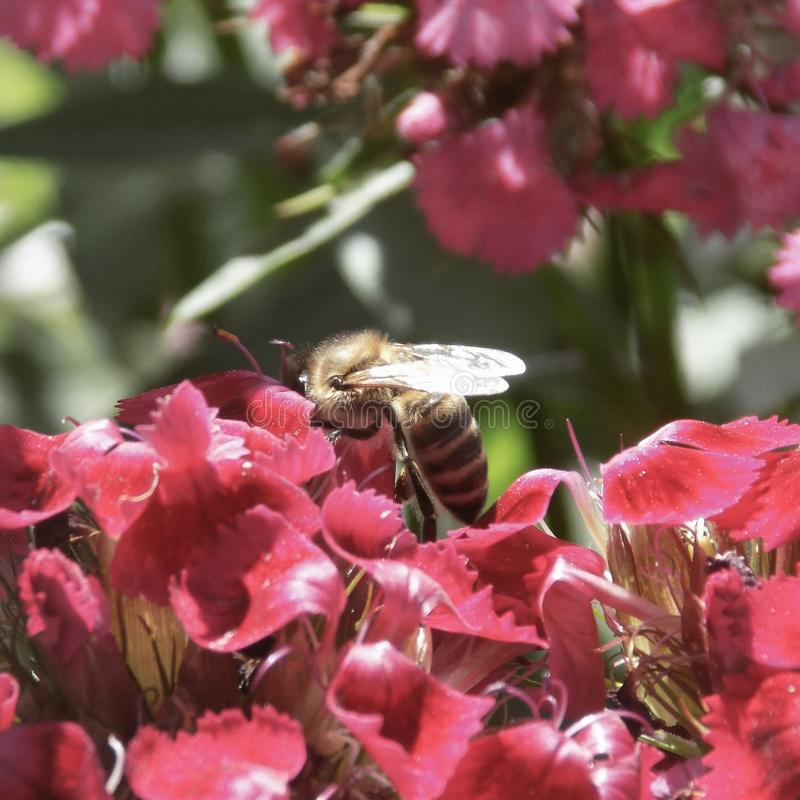 Μέλισσα στοκ φωτογραφίες
