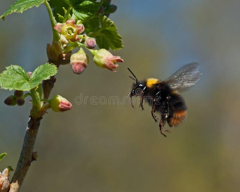 Μέλισσα Bumble κατά την πτήση στα λουλούδια σταφίδων στοκ εικόνα με δικαίωμα ελεύθερης χρήσης