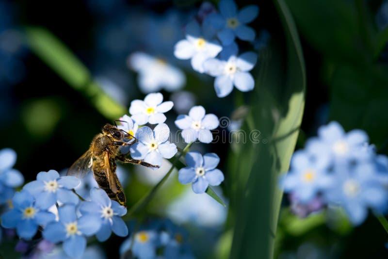 Μέλισσα forget-me-not στοκ φωτογραφία
