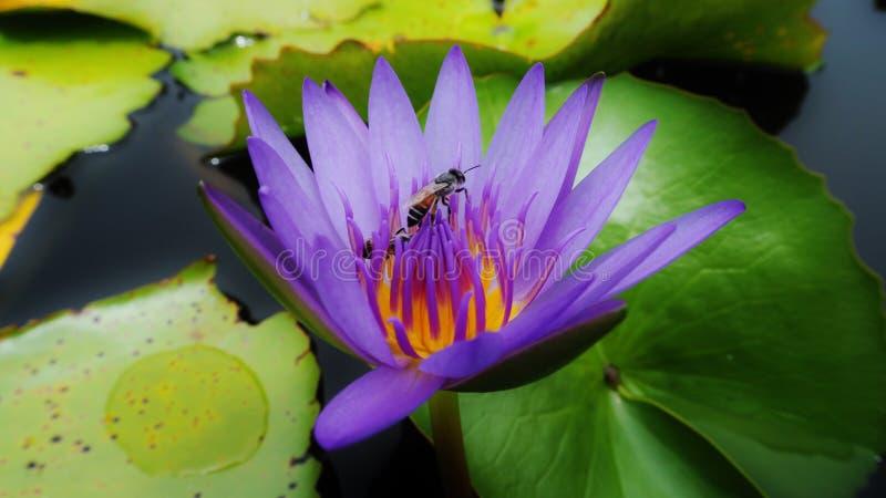 Μέλισσα Lotus στοκ φωτογραφία