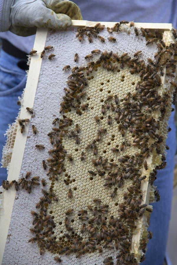 Μέλισσες μελιού σε μια κηρήθρα στοκ φωτογραφία με δικαίωμα ελεύθερης χρήσης