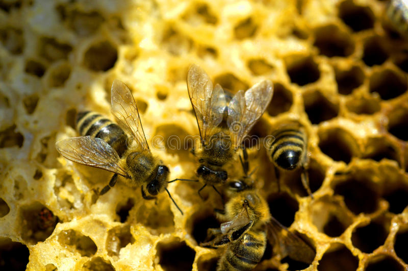 Μέλισσες μελιού στοκ φωτογραφία με δικαίωμα ελεύθερης χρήσης