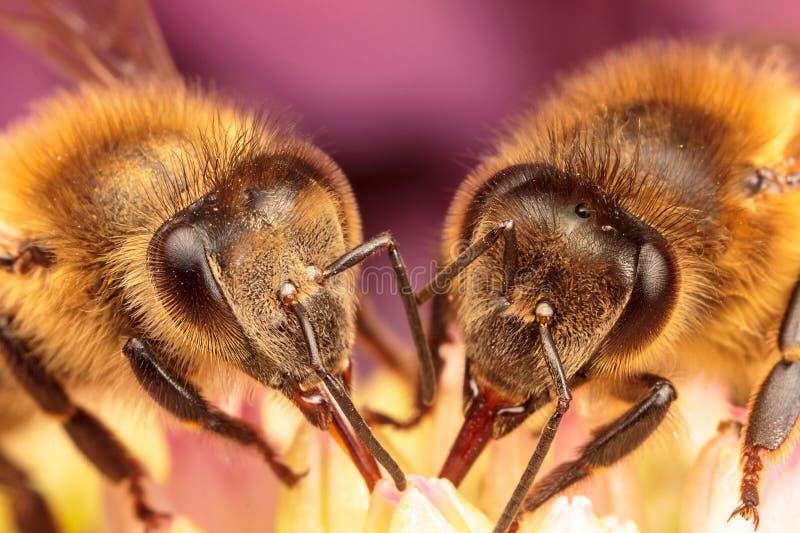 Μέλισσες μελιού στοκ φωτογραφία