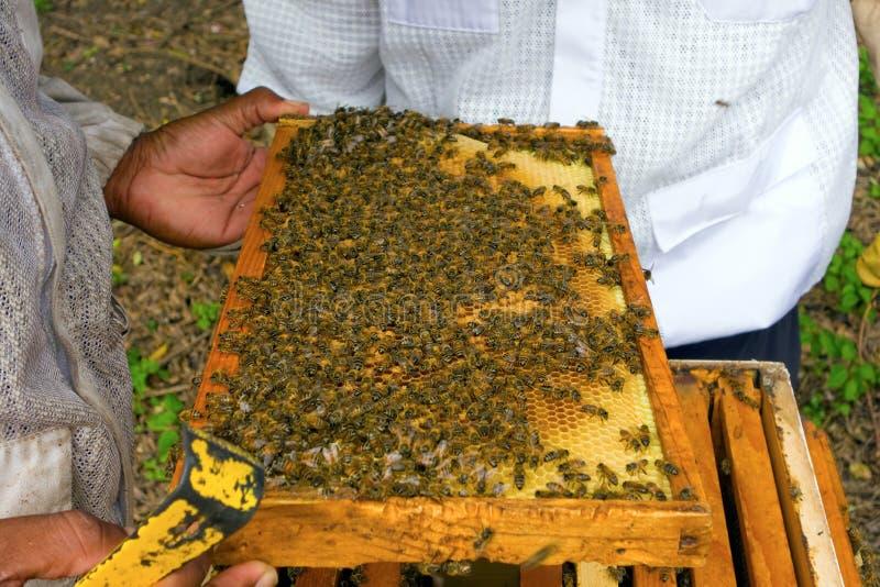 Μέλισσες που συγκεντρώνονται σε μια φωτογραφική διαφάνεια σε ένα μελισσουργείο στο Bequia στοκ εικόνα με δικαίωμα ελεύθερης χρήσης