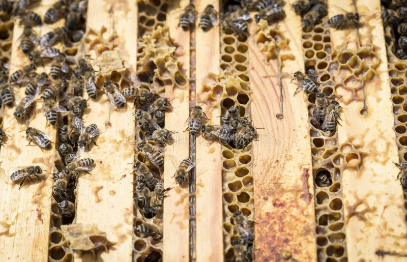 Μέλισσες στα honeycells στοκ εικόνα με δικαίωμα ελεύθερης χρήσης