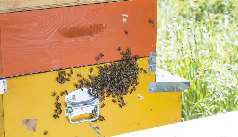 Μέλισσες στα honeycells στοκ εικόνες