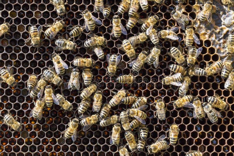 Μέλισσες στα honeycells στοκ εικόνα