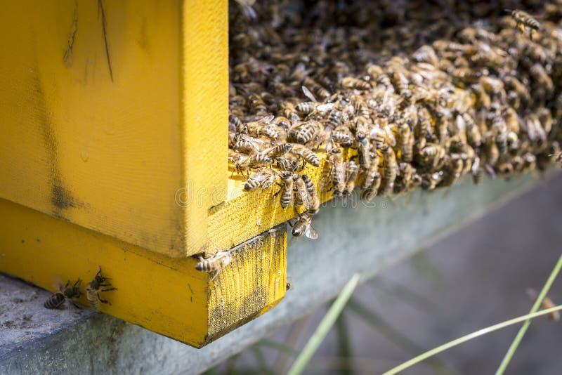 Μέλισσες στα honeycells στοκ φωτογραφίες