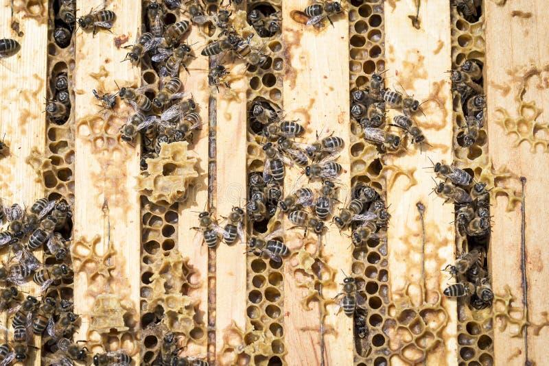 Μέλισσες στα honeycells στοκ φωτογραφία με δικαίωμα ελεύθερης χρήσης