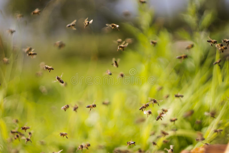Μέλισσες χορού στοκ φωτογραφία με δικαίωμα ελεύθερης χρήσης