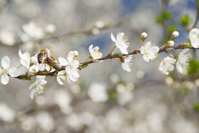 Μέλισσες Twoo λουλούδια στα άγρια κερασιών στοκ εικόνα