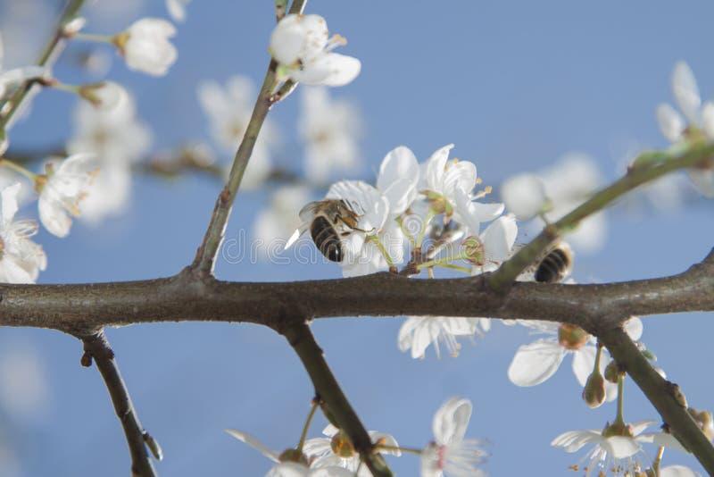 Μέλισσες Twoo λουλούδια στα άγρια κερασιών στοκ φωτογραφία με δικαίωμα ελεύθερης χρήσης