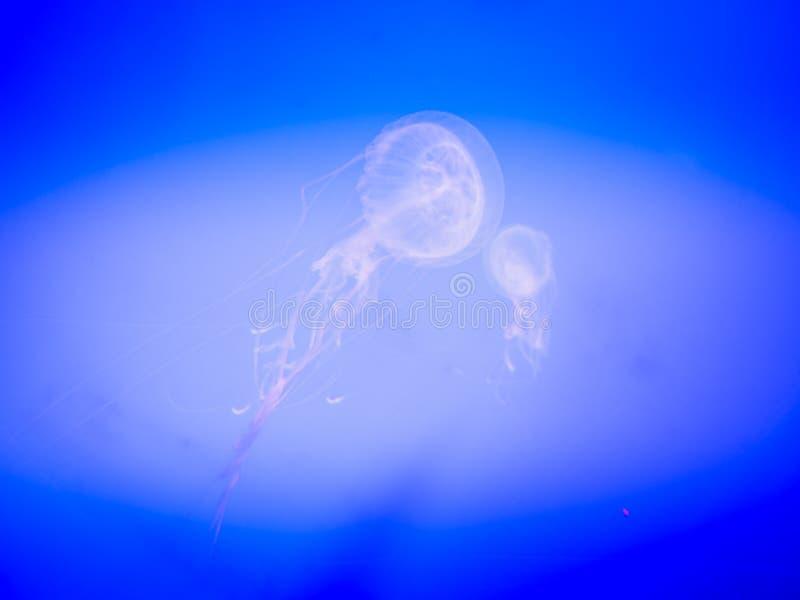 Μέδουσα στον πλανήτη Jeju, τοποθετημένο κοντινό Seopjikoji Hanwah Aqua στοκ εικόνα με δικαίωμα ελεύθερης χρήσης