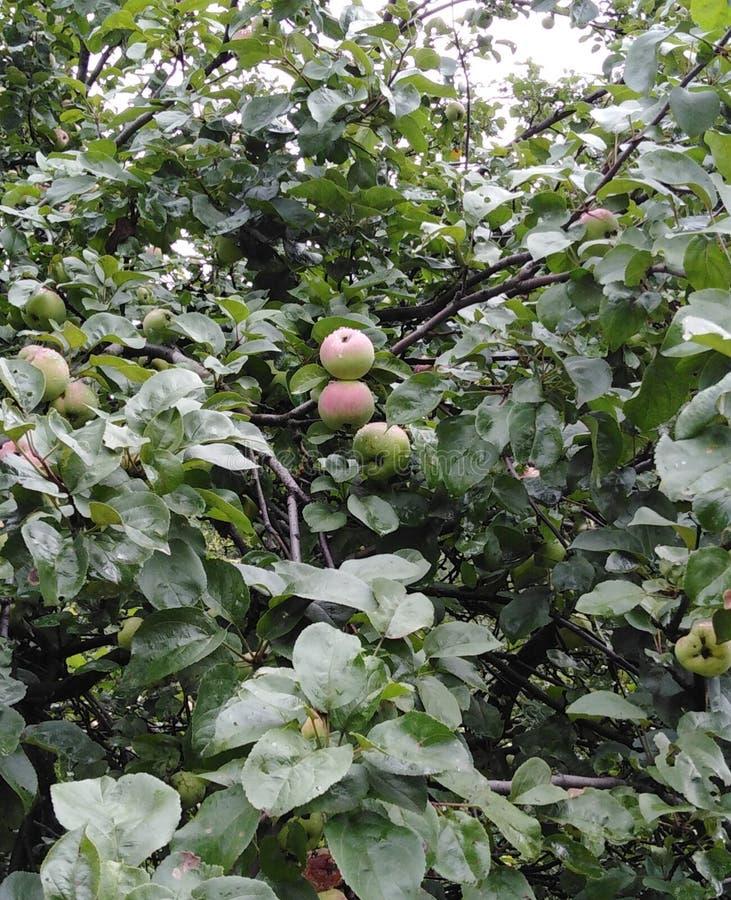 Μήλα μετά από τη βροχή στοκ φωτογραφία